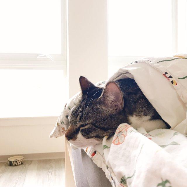 🐈我家大猫Hana的换季进行式🍵