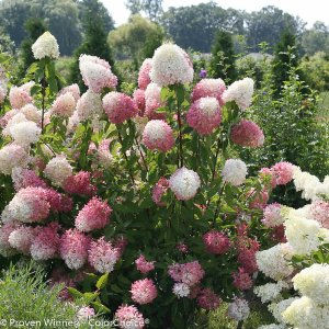 Proven Winners 1 Gal. Zinfin Doll Hardy Hydrangea (Paniculata) Live Shrub, Pink and White Flowers-HYDPRC1116101 - The Home Depot
