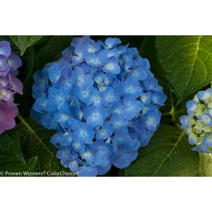Proven Winners 4.5 in. qt. Let's Dance Blue Jangles Reblooming Hydrangea, Live Shrub, Blue or Pink Flowers-HYDPRC2527800 - The Home Depot