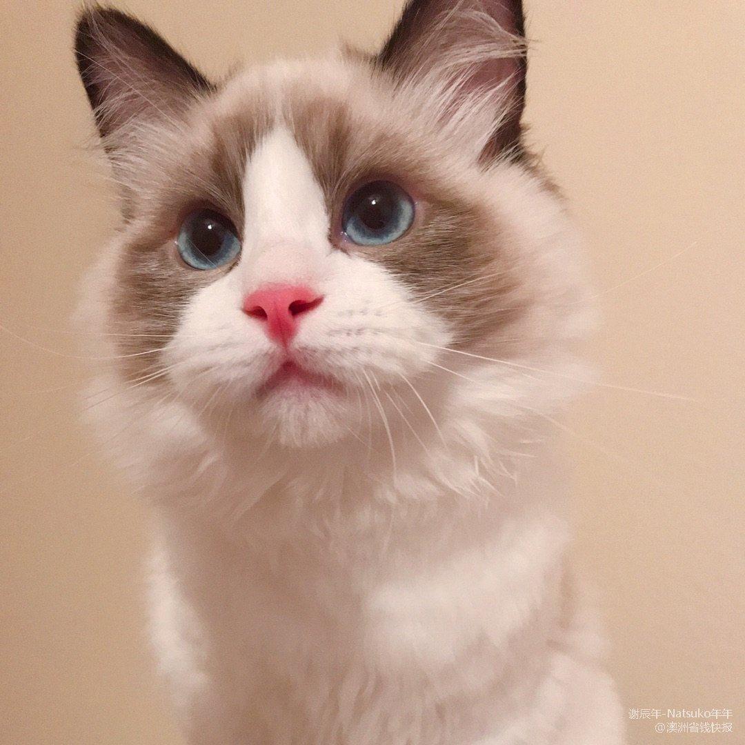 布偶猫用品推荐:白色🐱沐浴清洁必备增白套...