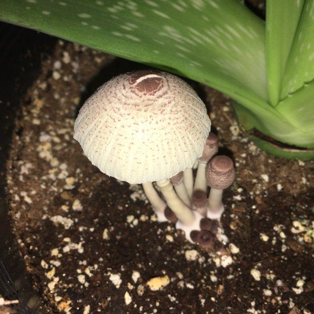 蘑菇spore print小实验