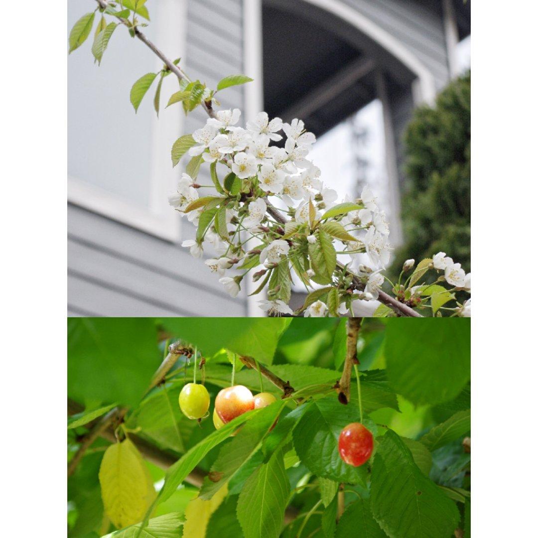 家有两棵不务正业的樱树🌸🍒