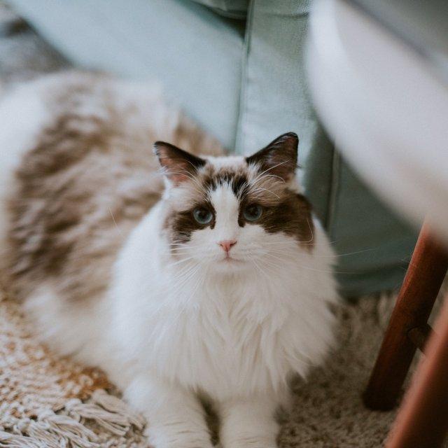 海豹双色的布偶猫是大毛球MIKKA酱