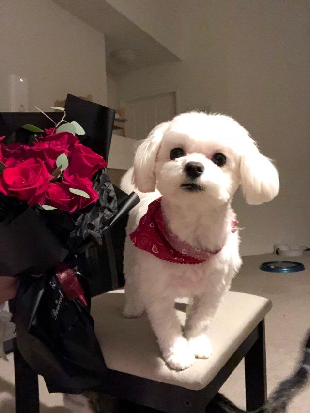 马尔济斯 💗超温柔的狗狗