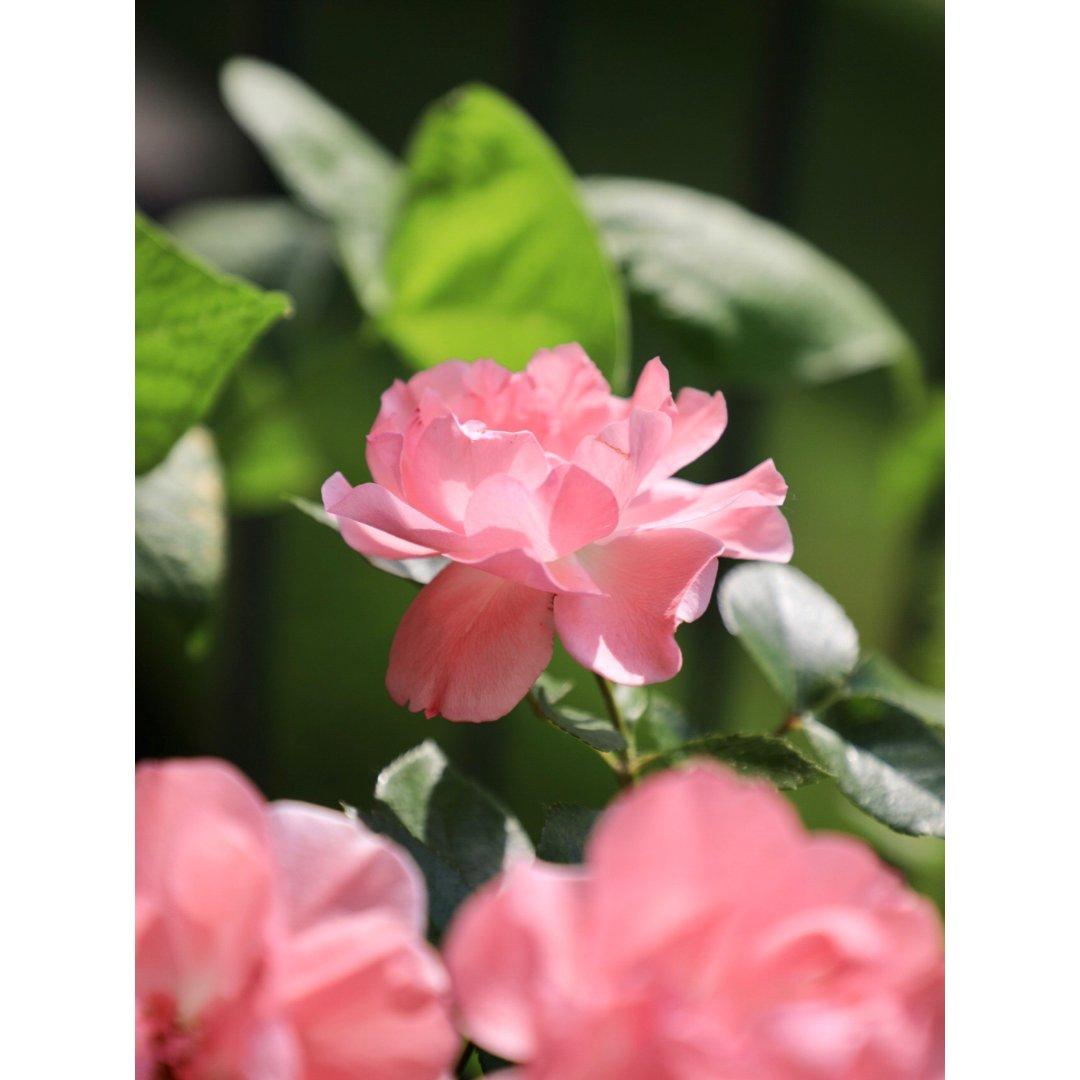 阳台花园 玫瑰