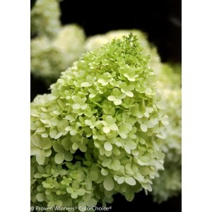 Proven Winners 1 Gal. Limelight Hardy Hydrangea (Paniculata) Live Shrub, Green to Pink Flowers-HYDPRC1016101 - The Home Depot