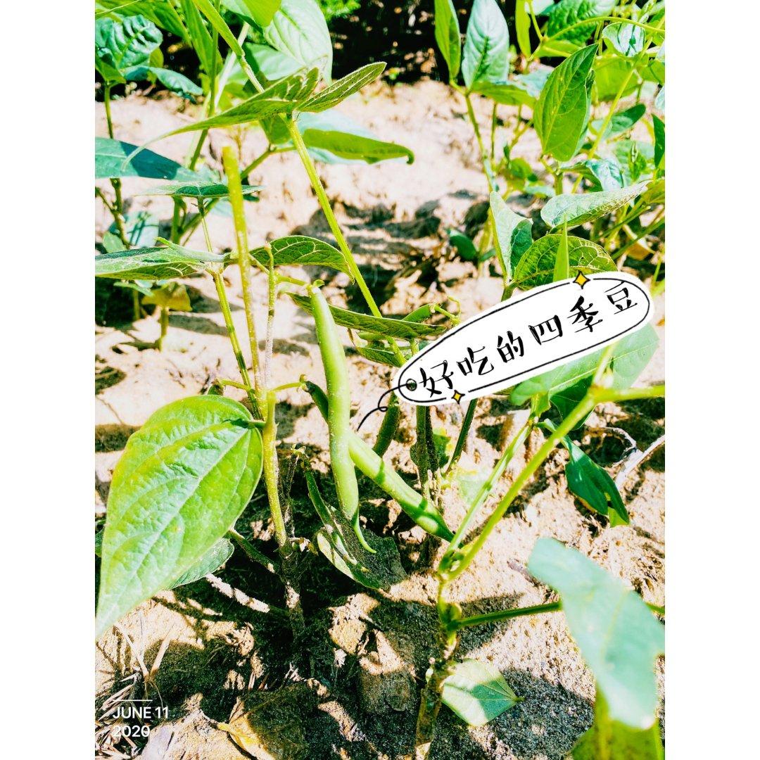 我家的小菜园❥好吃的四季豆,可以来...