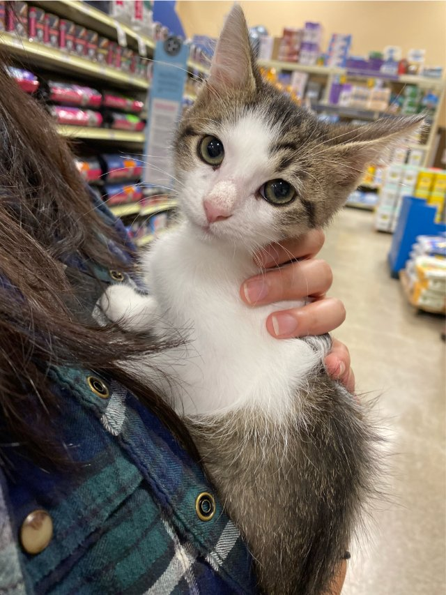 10周大的小奶猫