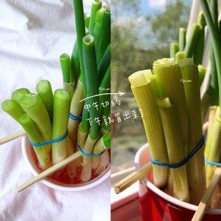 宅在家里干点啥【种小葱】 每天都能吃上新...
