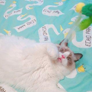 布偶日记:给点儿猫薄荷就瘫倒的BaoBa...