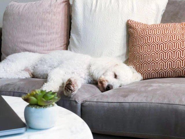 养两只狗狗是什么样的体验?玩具贵宾...