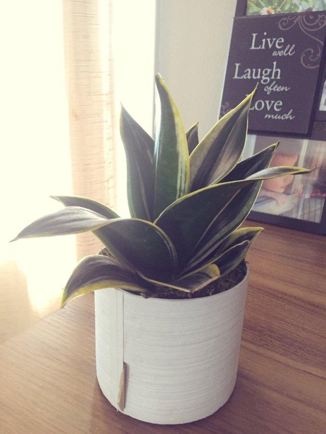 多肉植物🍃卷心虎尾兰