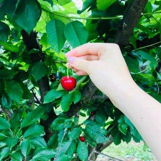 春光无限好,我们一起去摘樱桃🍒吧!...