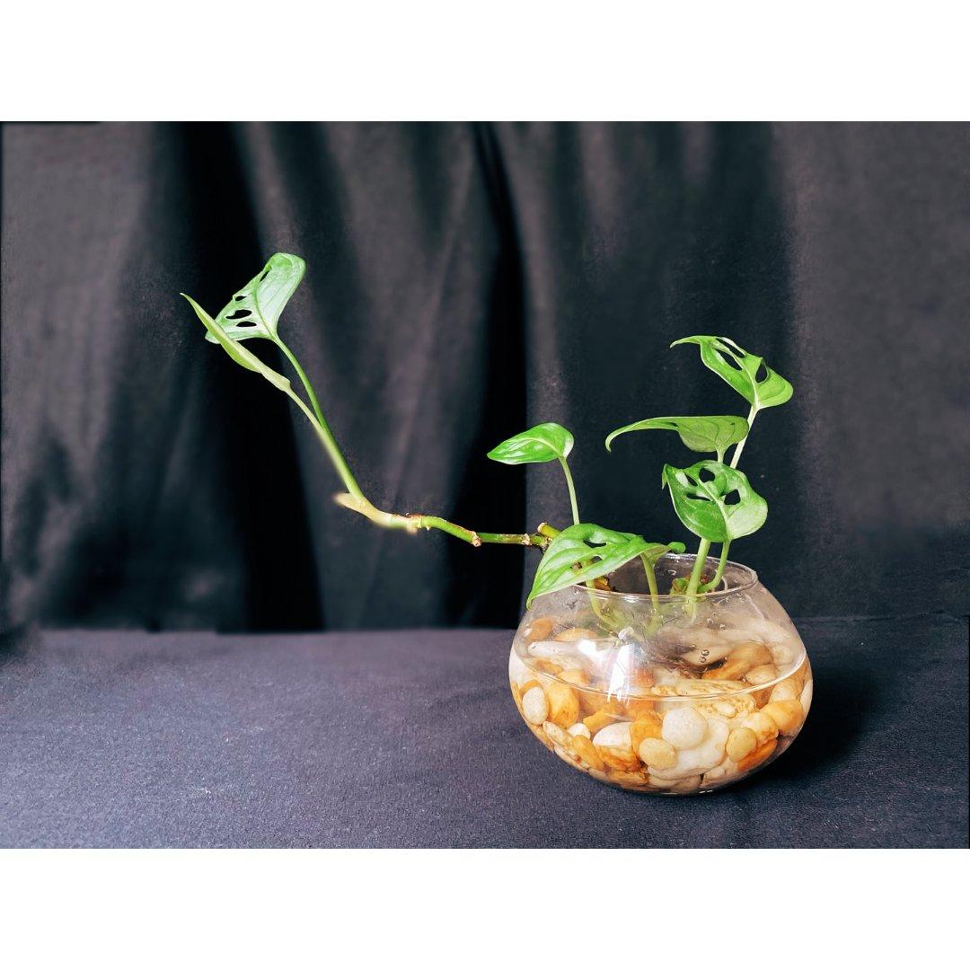 【顽强的绿植】仙洞龟背竹
