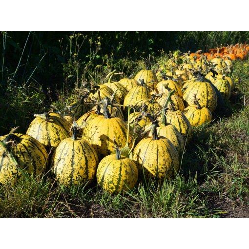 【南瓜季,拉着小车Pumpkin Farm里挑南瓜🎃去啦】