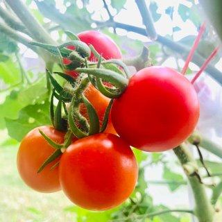 帮助番茄生长+预防疾病的小窍门:巧用泻盐...