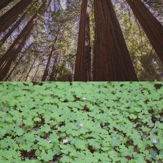 湾区周末|Muir Woods吸氧看治愈...