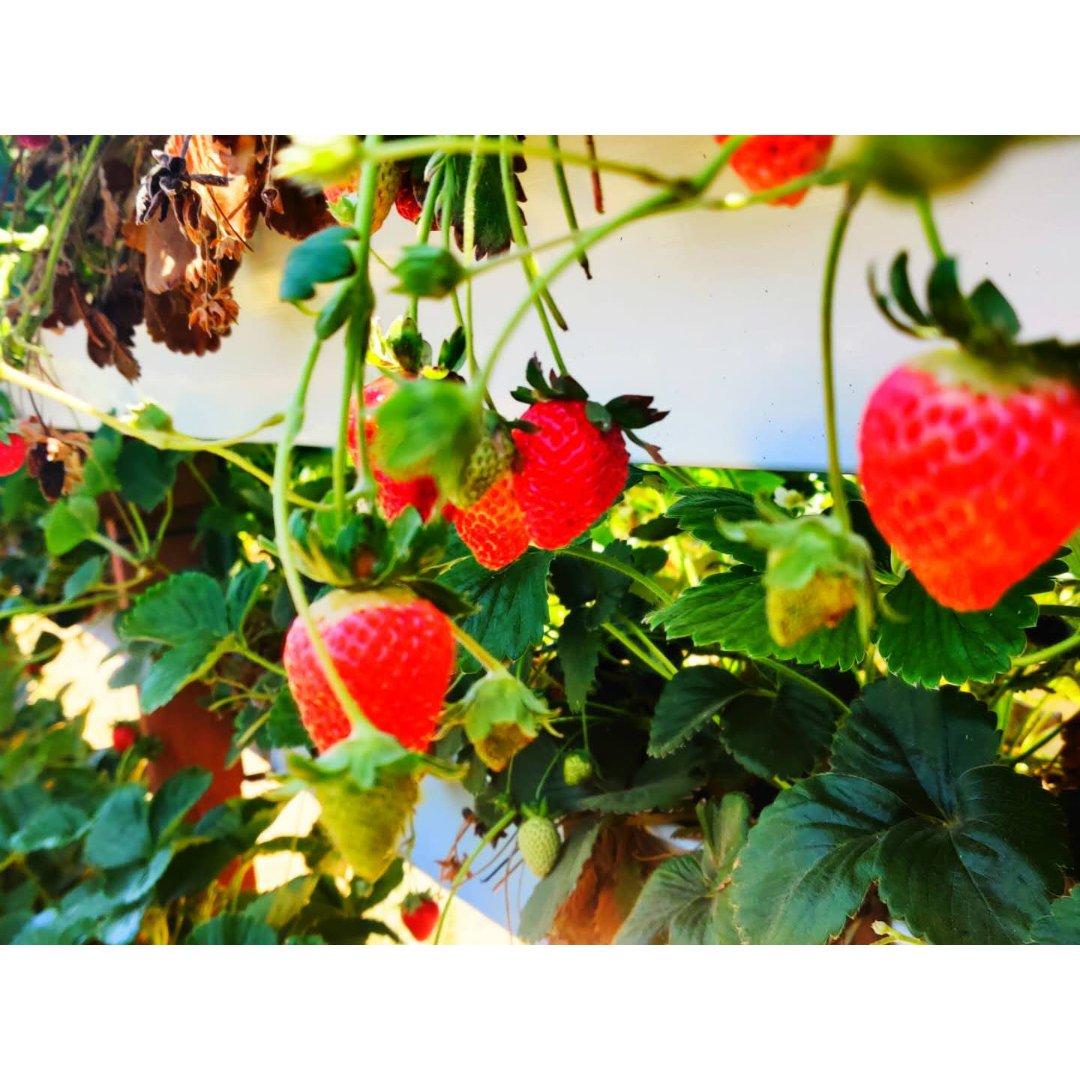 尔湾摘草莓好去处