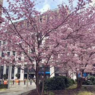 伦敦的樱花🌸开了...