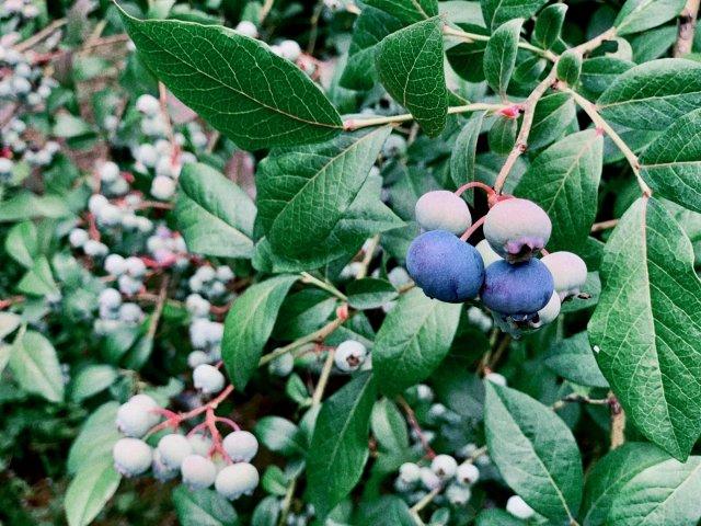 蓝莓熟了👉🏻摘还是不摘呢❓