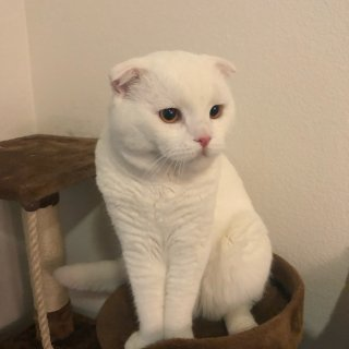 朋友的大白猫养得超好...