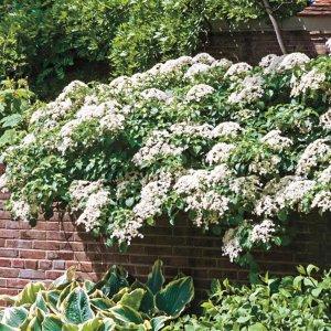 Gardens Alive! Climbing Hydrangea Bareroot Plant-71303 - The Home Depot