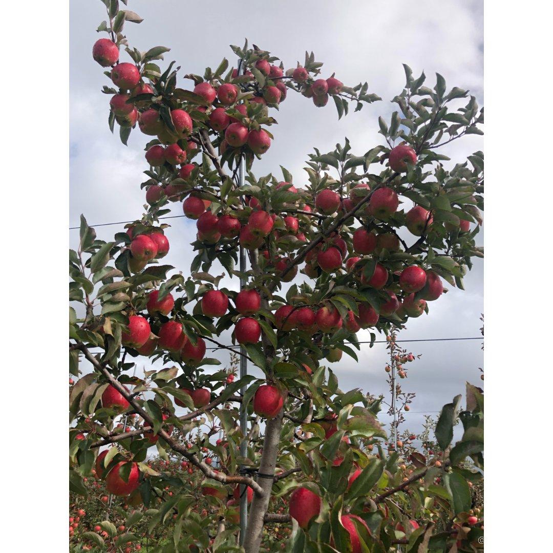 加拿大🇨🇦感恩节,摘苹果走起