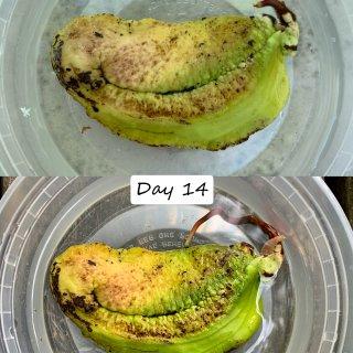 🥭芒果核种植