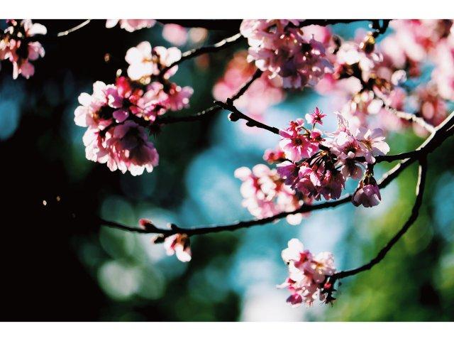 樱花与小鸟