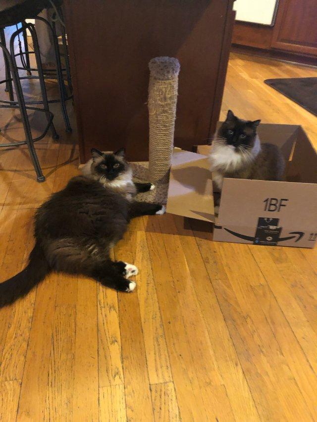 两只长毛猫,梳子必不可少啊