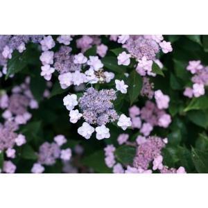 Proven Winners 4.5 in. qt. Tuff Stuff Reblooming (Mountain Hydrangea) Live Shrub, Blue, Pink, and Purple Flowers-HYDPRC3107800 - The Home Depot