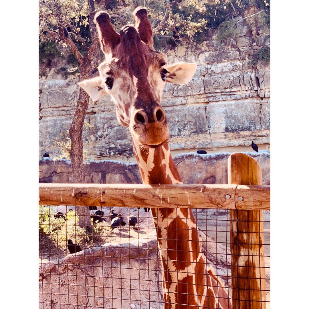 长颈鹿🦒|投食