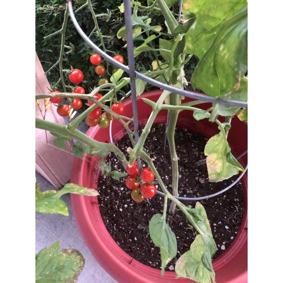 小番茄红了