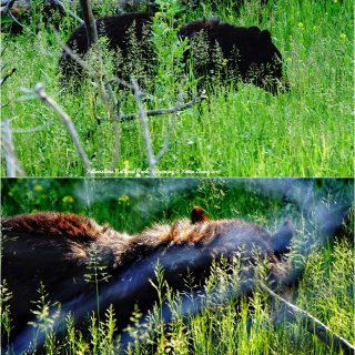 五入黄石3   熊熊熊:分布区域🐻🐻🐻+...