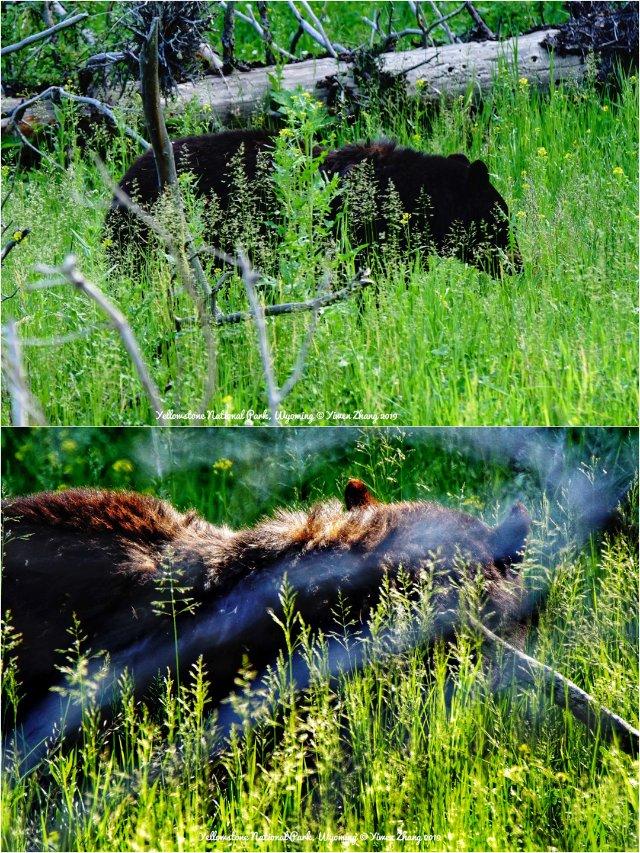 五入黄石3 | 熊熊熊:分布区域🐻...