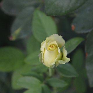 我家的花之七 圣帕特里克St. Patr...
