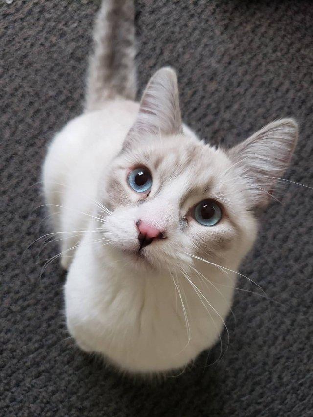 猫中哈士奇--奶酪的天使面