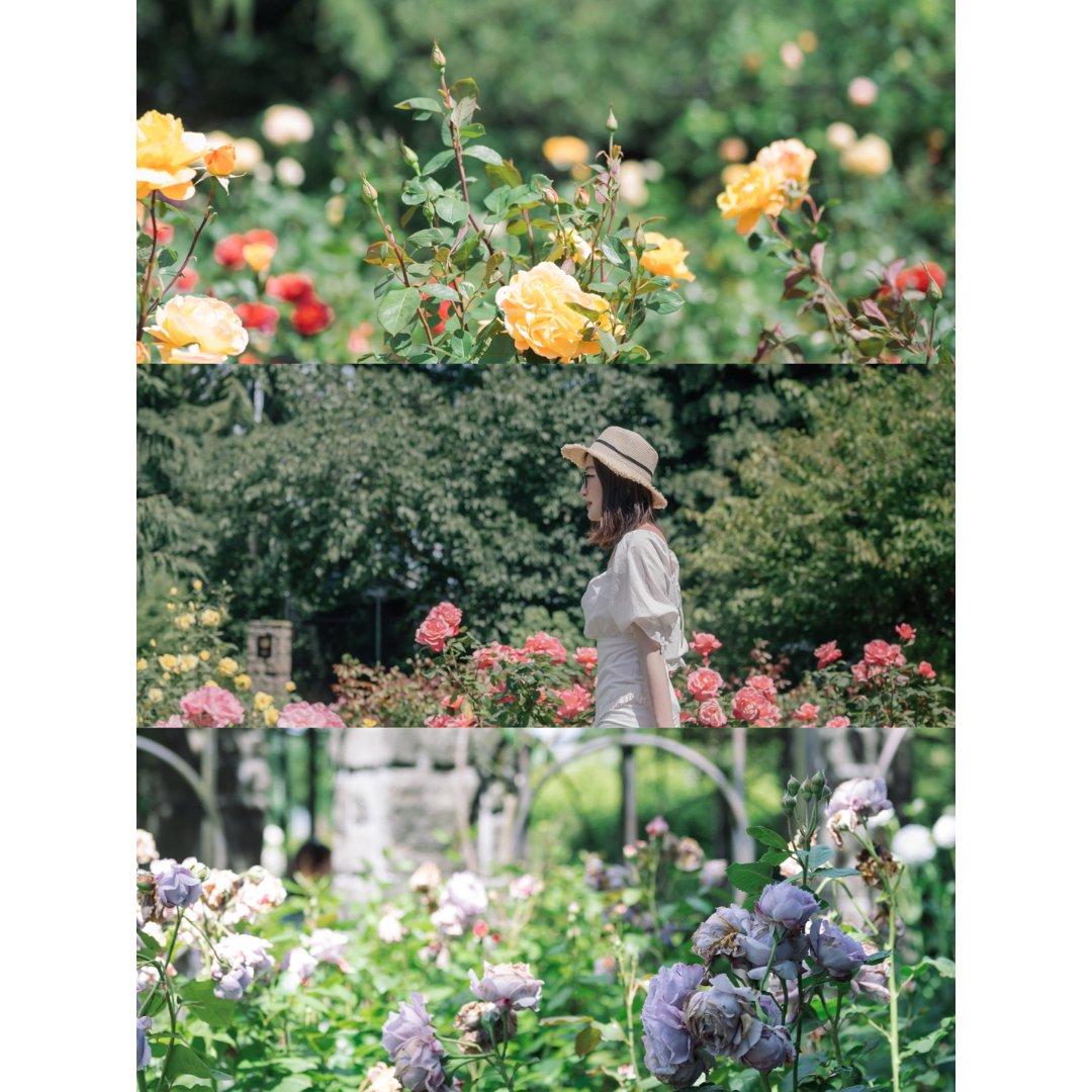 西雅图夏日|仲夏午后闯入玫瑰花园🌹