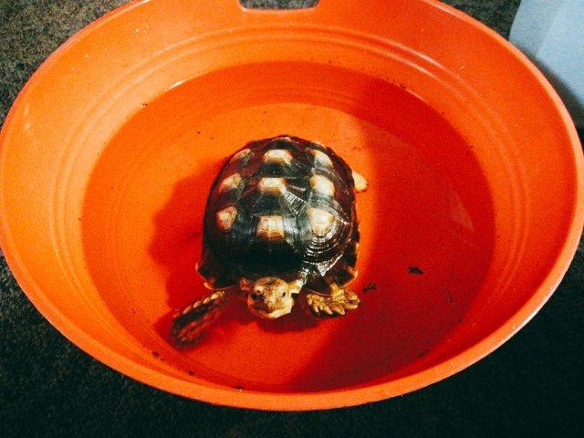 每日洗澡幸福时光----一只寂寞的龟宝宝