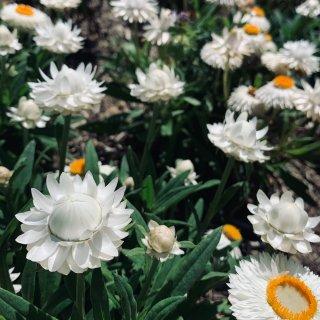 澳洲的纸雏菊🌼🌸...
