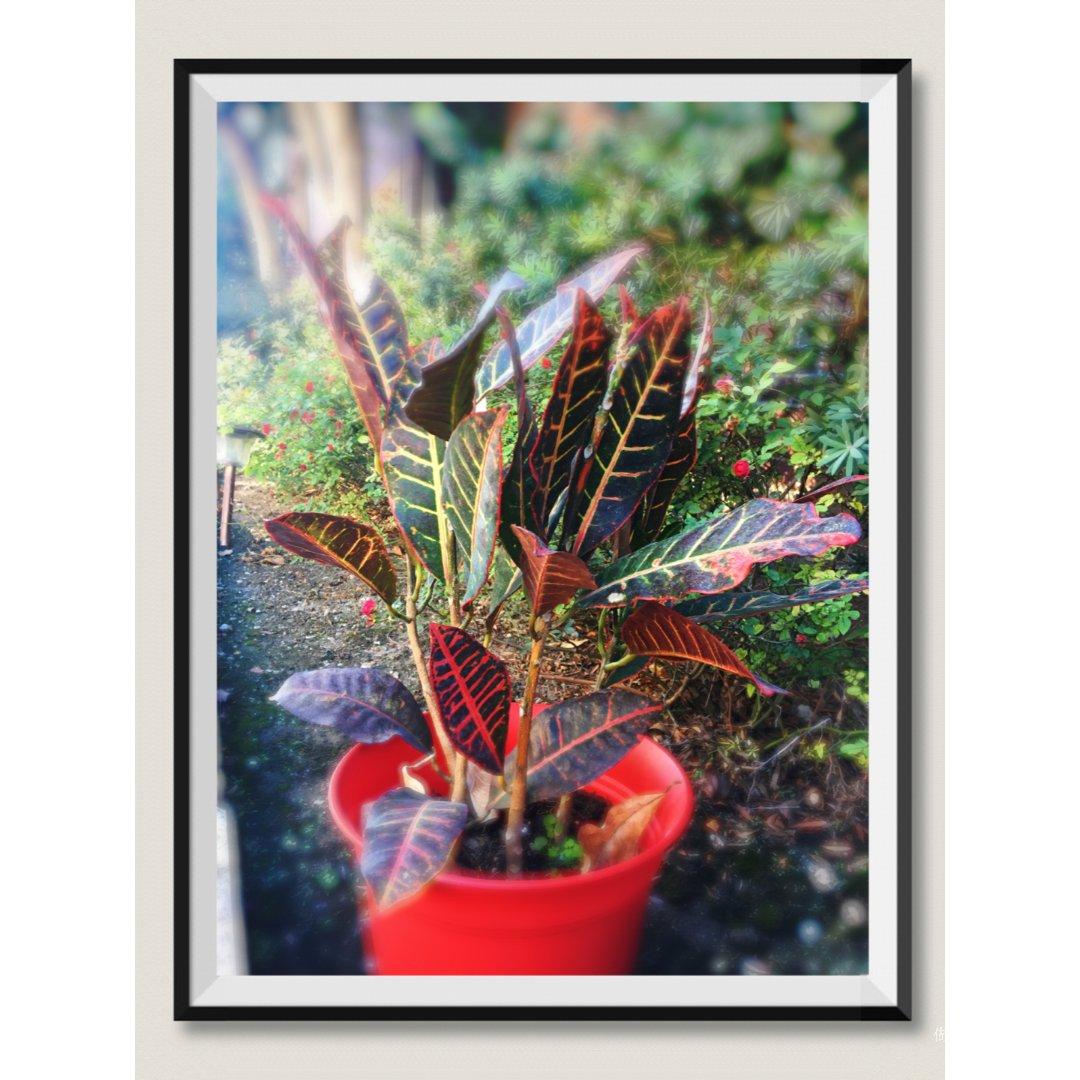 【Croton变叶木】净化室内空气小能手