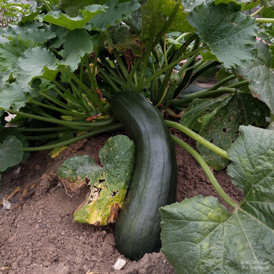 一不小心种了个巨无霸Zucchini