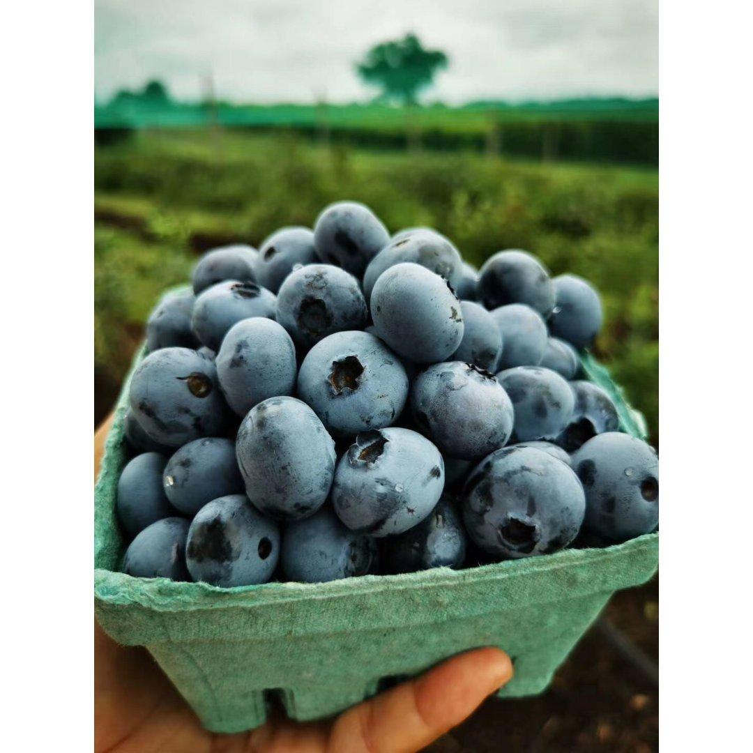 蓝莓季  6