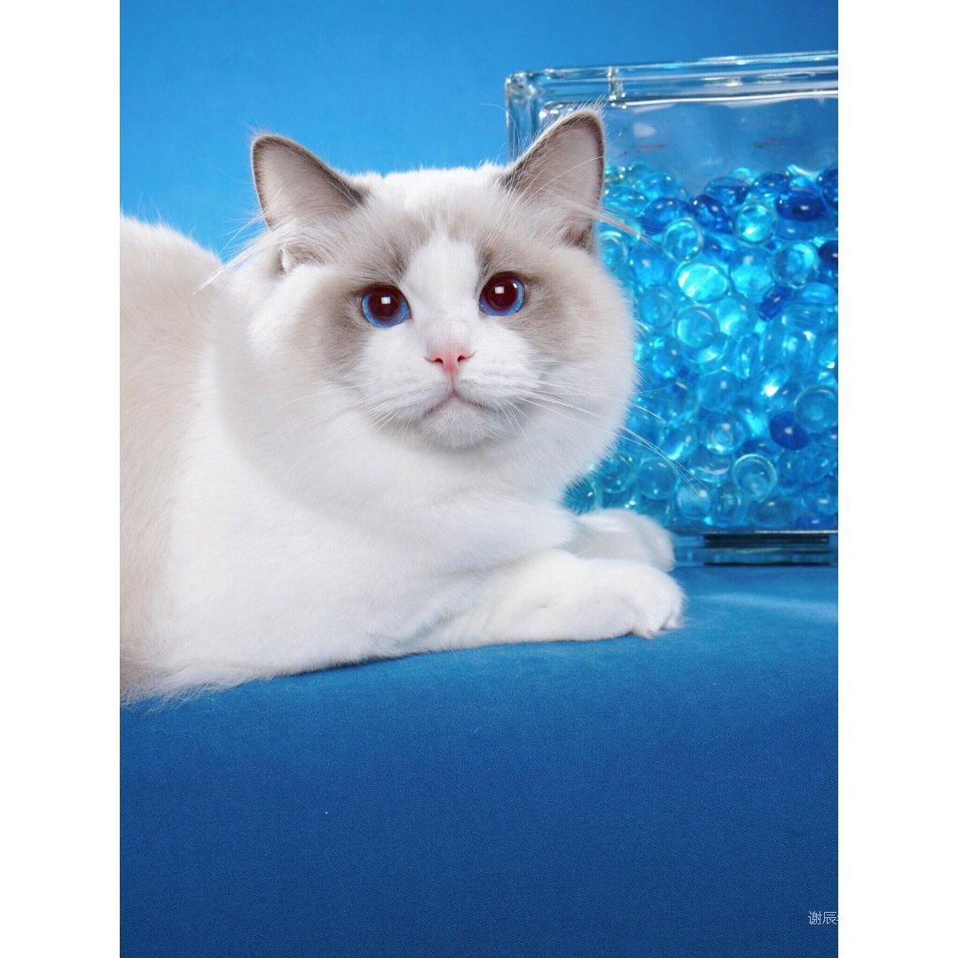baobao的好基友:蓝双布偶猫H...