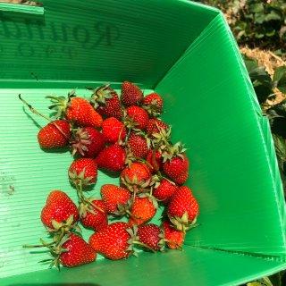 来摘草莓鸭~~~...