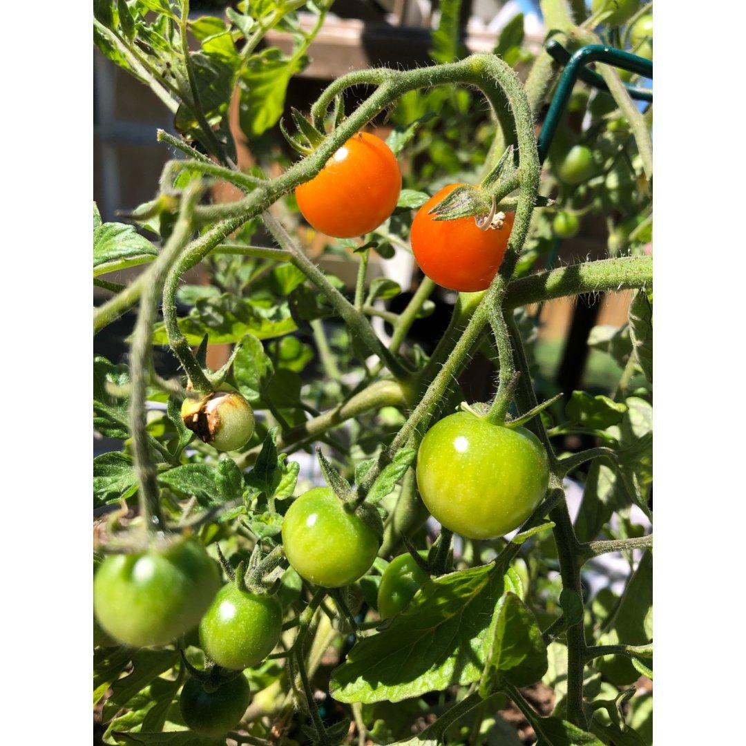 小番茄🍅开始熟了😊