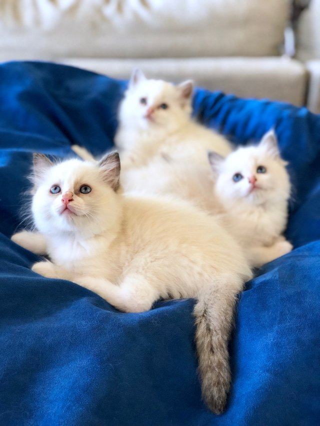 连男人都会爱不释手的宠物—布偶猫🐱