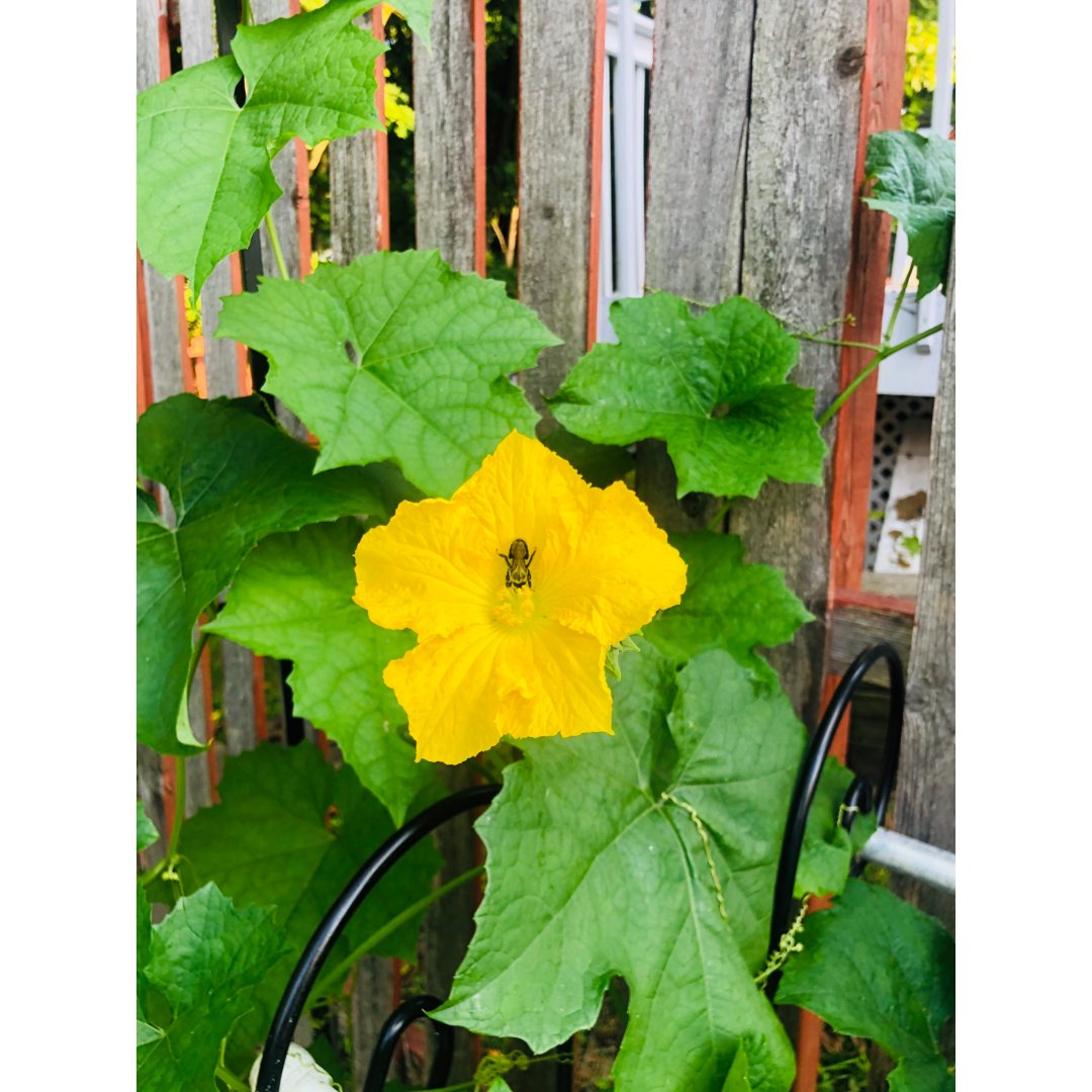 后院的长瓜开花🌼啦