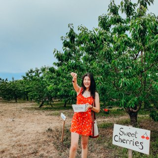 纽约近郊 六月底自採樱桃及好喝苹果酒...