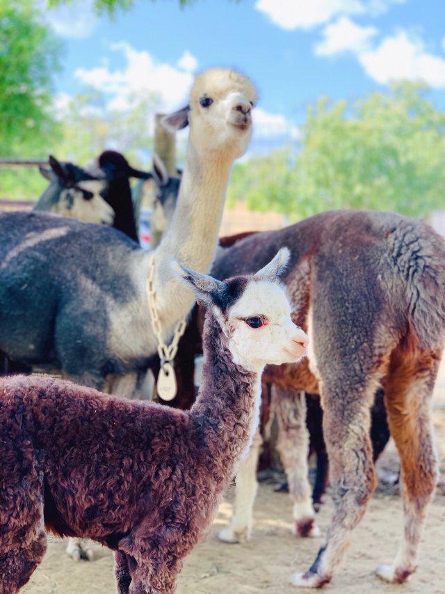 湾区好去处 | 全美羊驼农场节去看...